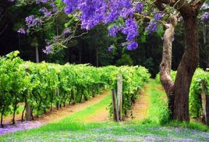 Bago Vineyards - Taree Accommodation