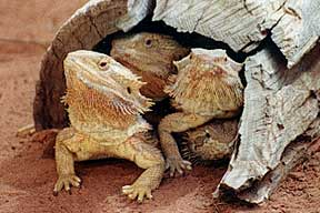 Alice Springs Reptile Centre - Taree Accommodation