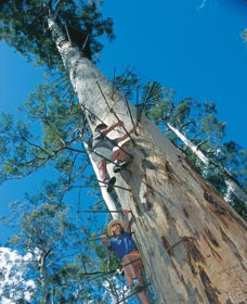 Dave Evans Bicentennial Tree - Taree Accommodation