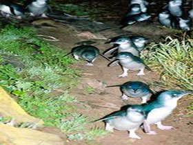 Penneshaw Penguin Centre - Taree Accommodation