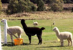 Maydena Country Cabins Accommodation  Alpaca Stud - Taree Accommodation