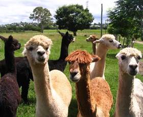 Banyandah Alpacas - Taree Accommodation