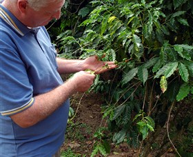 Wombah Coffee Plantation - Taree Accommodation