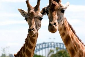 Sydney Harbour Ferry with Taronga Zoo Entry Ticket - Taree Accommodation